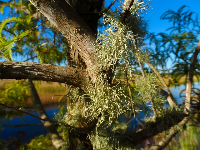 Old Man's Beard - Symbiosis of a Fungus & Alga